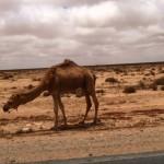 Marokkó túra onroad 82 Teve a sivatagban